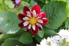 Flor roja, blanca y amarilla Foto de archivo