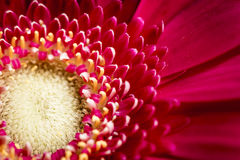 Flor roja brillante en el jardín imagen de archivo libre de regalías
