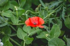Flor roja brillante entre las hojas verdes Foto de archivo