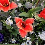 Flor roja brillante - florecida completamente imagen de archivo