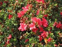 Flor roja Bush imágenes de archivo libres de regalías
