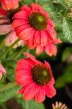 Flor roja clara del Echinacea en la floración Imagen de archivo libre de regalías