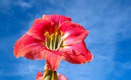 Flor roja clara del lirio de belladona de Amaryllis con el fondo del cielo azul fotos de archivo libres de regalías