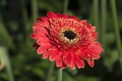 Flor roja colorida del Gerbera con el centro negro fotos de archivo