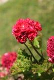 Flor roja común del geranio Imagenes de archivo