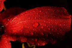 Flor roja con descensos del agua foto de archivo