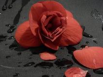 Flor roja con descensos del agua Fotos de archivo libres de regalías
