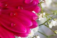 Flor roja con descensos del agua en los pétalos Fotos de archivo libres de regalías