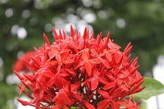 Flor roja con descensos y un bosque unfocoused en el fondo Foto de archivo libre de regalías