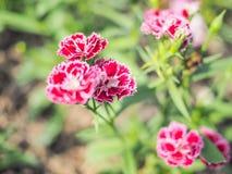 Flor roja con el fondo de la falta de definición Imágenes de archivo libres de regalías