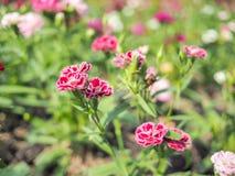 Flor roja con el fondo de la falta de definición Foto de archivo libre de regalías