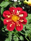 Flor roja con el interior poner crema Imagen de archivo libre de regalías