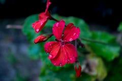 Flor roja con gotas de la lluvia Foto de archivo libre de regalías