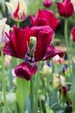 Flor roja con gotas de lluvia Foto de archivo