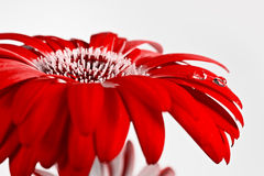 Flor roja con gotas del agua Imagen de archivo