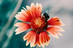 Flor roja con la abeja Imágenes de archivo libres de regalías