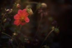 Flor roja con la abeja Fotografía de archivo