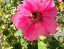 Flor roja con la abeja dentro Fotos de archivo