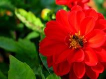 Flor roja con la abeja en ella Foto de archivo