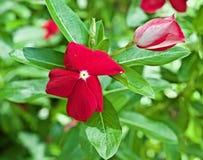 Flor roja con las hojas verdes imágenes de archivo libres de regalías