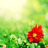 Flor roja con los brotes verdes Fotografía de archivo
