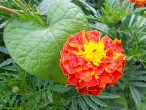 Flor roja con un corazón amarillo rodeado por las hojas de diversas formas Imagen de archivo libre de regalías