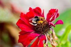 Flor roja con una abeja Foto de archivo libre de regalías