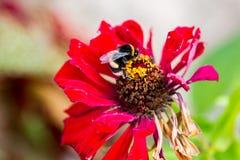 Flor roja con una abeja Fotografía de archivo