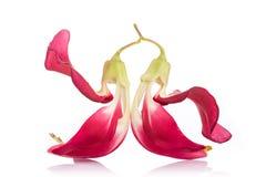 Flor roja de Agasta, Sesban o pájaro vegetal del tarareo aislados en blanco imagenes de archivo