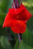 Flor roja de Canna Fotografía de archivo