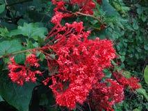Flor roja de Clerodendrum Paniculatum Imágenes de archivo libres de regalías