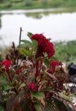 Flor roja de Cockcomb en el árbol Las flores de la cresta de gallo también se conocen como las flores o Brain Celosia de las lana Imagen de archivo libre de regalías