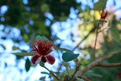 Flor roja de Feijoa, guayaba de piña Imágenes de archivo libres de regalías