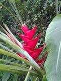 Flor roja de Heliconia fotografía de archivo