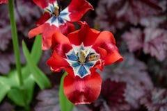 Flor roja de inclinación del tulipán que ha visto mejores días foto de archivo libre de regalías