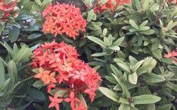 Flor roja de Ixora Imágenes de archivo libres de regalías