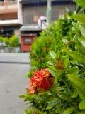 Flor roja de Ixora en el árbol con las hojas verdes, en el fondo de la comunidad fotografía de archivo