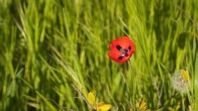 Flor roja de la amapola almacen de metraje de vídeo