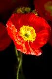 Flor roja de la amapola foto de archivo