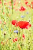 Flor roja de la amapola Foto de archivo libre de regalías