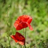 Flor roja de la amapola Fotos de archivo libres de regalías