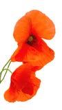 Flor roja de la amapola Imagen de archivo