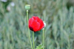 Flor roja de la amapola Imagenes de archivo