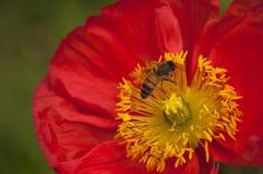Flor roja de la amapola con la abeja que asoma sobre centro Fotos de archivo libres de regalías
