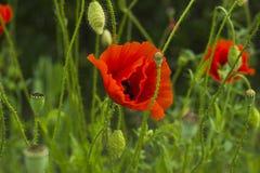 Flor roja de la amapola con el brote en campo verde Fotos de archivo libres de regalías