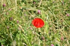 Flor roja de la amapola contra hierba verde y flores salvajes púrpuras Imágenes de archivo libres de regalías