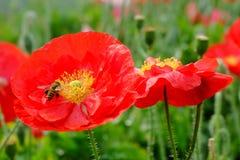 Flor roja de la amapola de opio con las abejas Foto de archivo libre de regalías