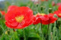 Flor roja de la amapola de opio en jardín Foto de archivo