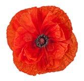 Flor roja de la amapola del primer foto de archivo libre de regalías