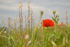 Flor roja de la amapola en el campo de hierba verde en el día de primavera temprano Fotografía de archivo libre de regalías